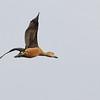 lesser whistling duck, Koh San Touek, Mekong River, Cambodia, April 2013