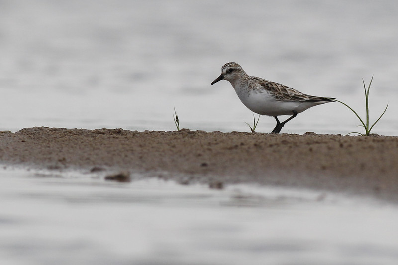 red-necked stint, Koh Preah, Mekong River, Cambodia, April 2013