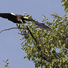 white-shouldered ibis, gliding to nest, Koh Preah, Mekong River, Cambodia, April 2013