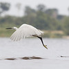 little egret, take-off, Koh Preah, Mekong River, Cambodia, April 2013