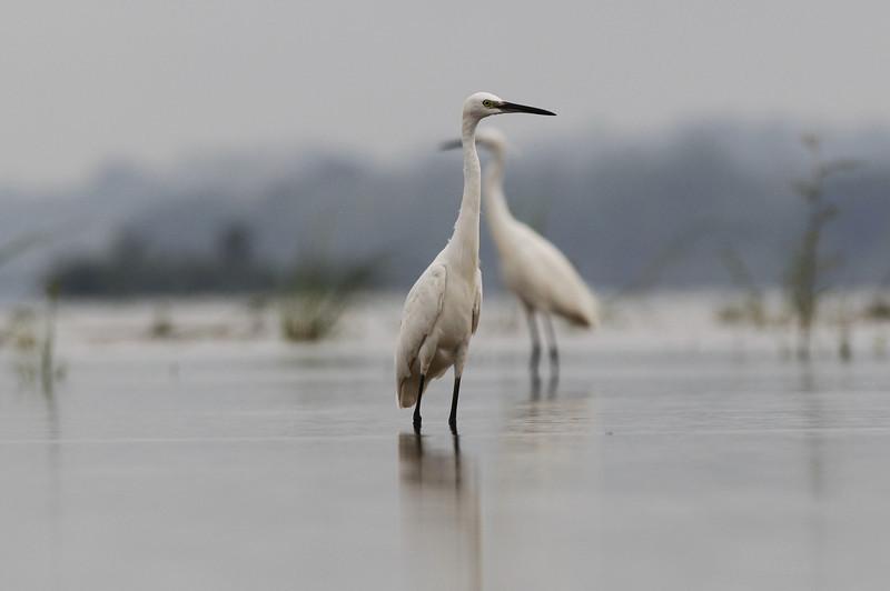 little egrets, Koh Preah, Mekong River, Cambodia, April 2013