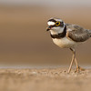 little ringed plover, Mekong River