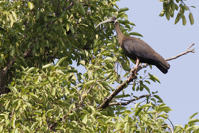 white-shouldered ibis, near nest, Koh Preah, Mekong River, Cambodia, April 2013