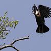white-shouldered ibis, take-off near nest, Koh Preah, Mekong River, Cambodia, April 2013