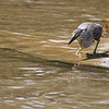 little heron, hunting snails, Koh Preah, Mekong River, Cambodia, April 2013