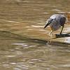 little heron, hunting snails, Koh Preah, Mekong River, Cambodia, April 2013