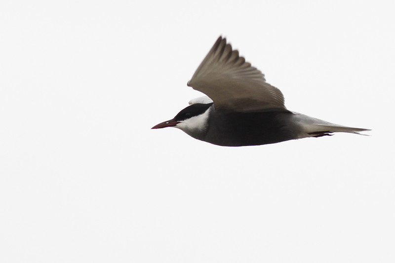 whiskered tern, adult breeding, an uncommon migrant, Koh Preah, Mekong River, Cambodia, April 2013