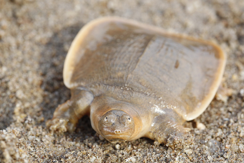 Cantor's giant soft shell turtle, hatchling, this turtle and many others were raised by Nuit Puyn and are given to Conservation International who then hold them till they reach a certain size, this turtle is critically endangered