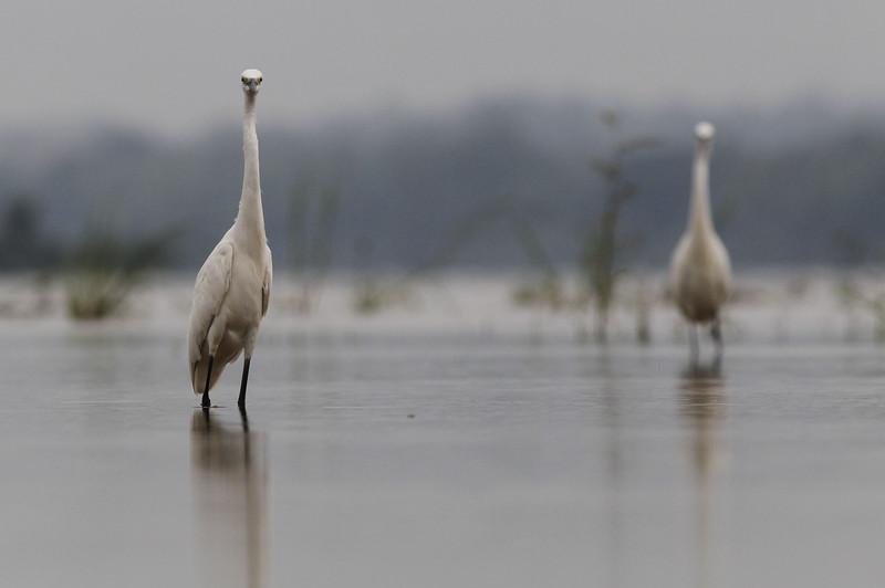 little egrets, watching me, Koh Preah, Mekong River, Cambodia, April 2013