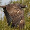 changeable hawk-eagle, dark morph, Mekong River, Cambodia, April 2013