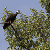 white-shouldered ibis, calling near nest, Koh Preah, Mekong River, Cambodia, April 2013