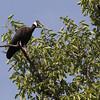 white-shouldered ibis, calling near nest, Koh Preah, Mekong River, Cambodia, April 2013