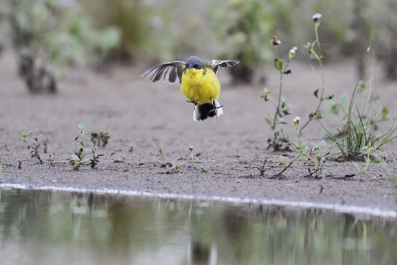 Eastern yellow wagtail (Macronyx), Koh Preah, Mekong River, Cambodia April 2013