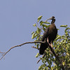 white-shouldered ibis, near nest, Koh Preah, Mekong River, Cambodia, April 2013