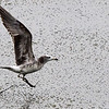 black-tailed, gull, juvenile, Song Do, South, Korea, May, 2013