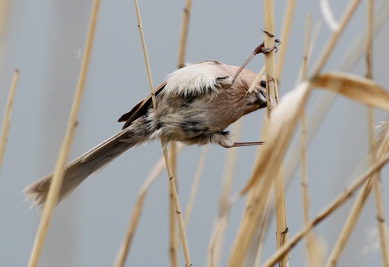 vinuous, throated, parrotbill, 3Song, Do, South, Korea, may, 2013