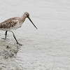 bar, tailed, godwit, female, breedingSong, Do, South, Korea, may, 2013