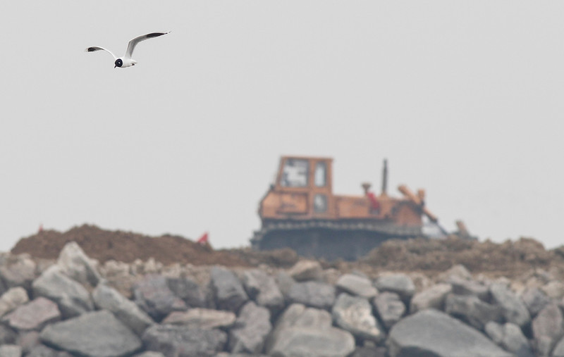 Land reclamation in process at the SongDo Estuary, Saunder's gull, adult breeding, Song-Do, South Korea, may 2013