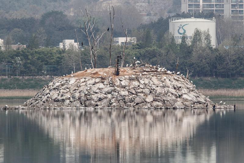 Mongolian gull/ black faced spoonbill, colony Song Do Korea May 2013