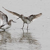 terek, sandpipers, battling, 2Song, Do, South, Korea, may, 2013