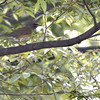 eye-browed thrush, Song-Do, South Korea, may, 2013