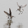 terek, sandpipers, battling, 1Song, Do, South, Korea, may, 2013