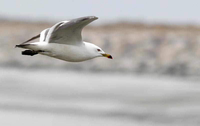 black-tailed, gull, adult, breeding Song Do, South, Korea, May, 2013