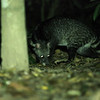 indian spotted civet