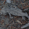 crocodile salamander (Tylototriton verrucosus), dried carcass, Doi Inthanon NP, Thailand