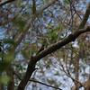 rufous woodpecker, Koh Dambong area, Mekong River, Cambodia, 2011