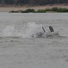 Irrawaddy river dolphin breeching, Kampi pool, Cambodia, 2011