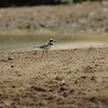 little-ringed plover, Mekong River, Cambodia, 2011
