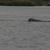 Irrawaddy river dolphin surfacing, Kampi pool, Cambodia, 2011