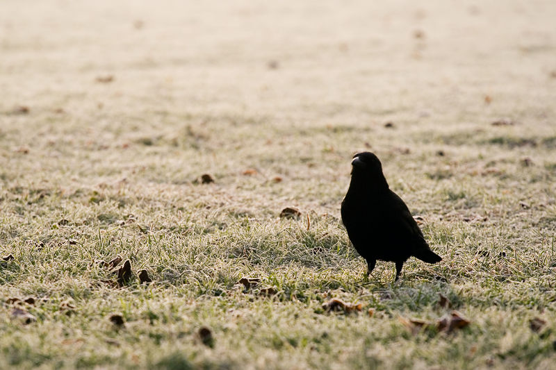 A crow in Trinity College trying to find food in the hard ground<br /> <br /> 70-200L on the 350D