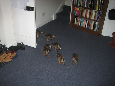 The ducklings are a bit older now, and very bold - they walked straight through the open back door into our lounge room!
