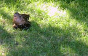 Mother duck sitting on her 11 ducklings about 2 weeks after they hatched - cute!