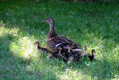 Mother duck with her 11 ducklings just outside our back door, about 2 weeks after they hatched (she had just been sitting on them all and got off when I opened the back door).