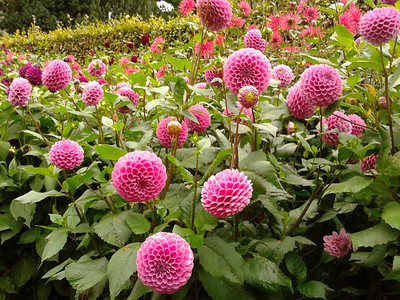Dahlias at Anglesey Abbey
