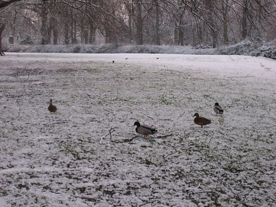 Ducks in the snow on Jesus green