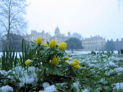 """spring flowers"" in the snow, with St John's college in the background."