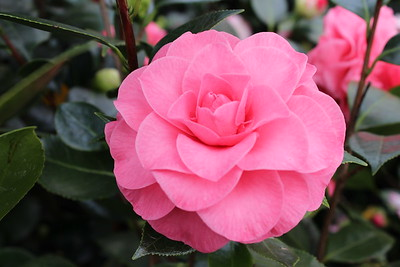 Camellia jap  'In the Pink' (3-30-17)