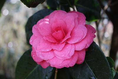 Camellia 'April Kiss'
