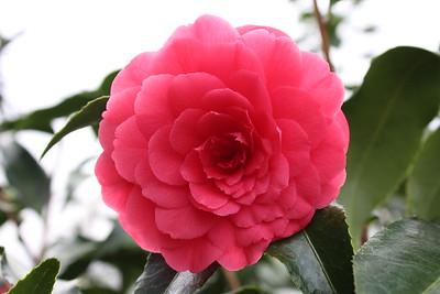 Camellia jap  'Colonel Firey' #10