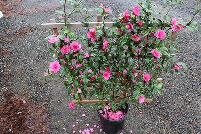 Camellia jap  'Chansonette' #5 ESPALIER (2)