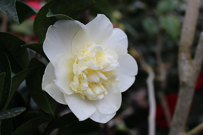Camellia 'Silver Waves' (2)