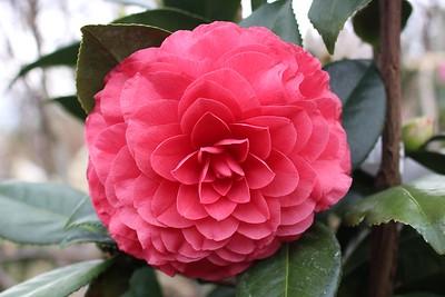 Camellia jap  'Nuccio's Bella Rossa'