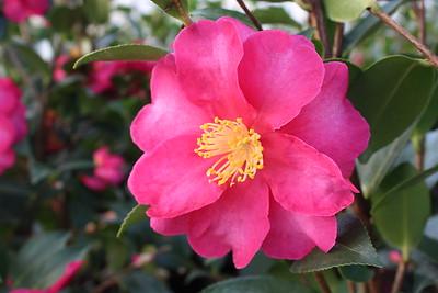 Camellia jap  'Kanjiro'