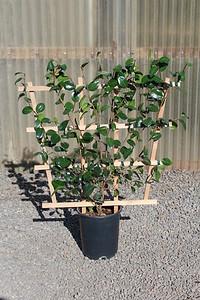 Camellia jap  'Dr  King' (red), ESPALIER #5