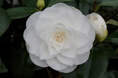 Camellia jap  'Nuccio's Gem' (white)