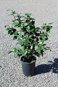 Camellia jap  'Mathotiana Supreme' (red) #5